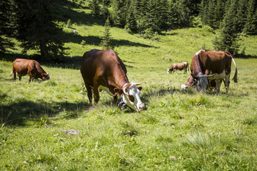 cows grazing in bucolic green summer alpine meadow, Swiss Alps mountain massif, canton du Valais, Switzerland