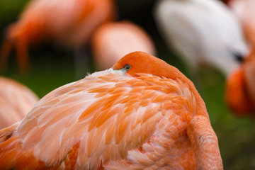 Portrait of a pink flamingo in a profile.