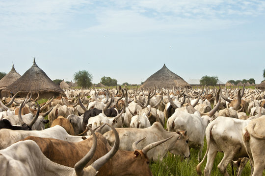 Cattle and village in South Sudan