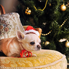Young beige chihuahua dog in Santa hat