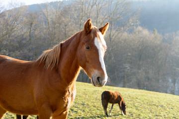 Pferd in Freiheit in der Natur