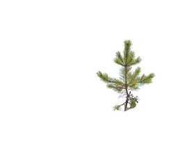 Pine Tree Isolated in Snow Winter White