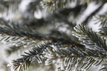 Branch of a Christmas tree with hoarfrost