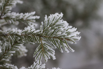 Branch of a Christmas tree with hoarfrost (background)