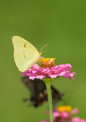 Female Cloudless Sulphur butterfly on a pink Zinnia, with another butterfly on the background