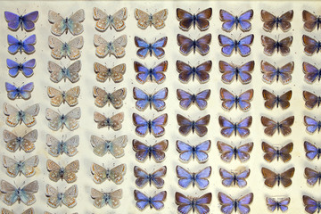 Collection of Victorian Butterflies
