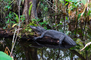 Alligator in Everglades, Florida