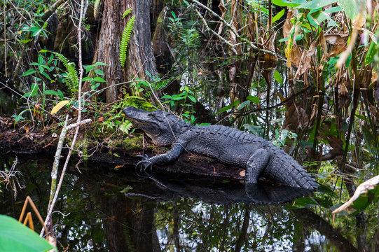 Alligator in Everglades, Florida