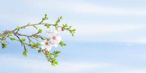 Spring blossom apricot tree against blue sky
