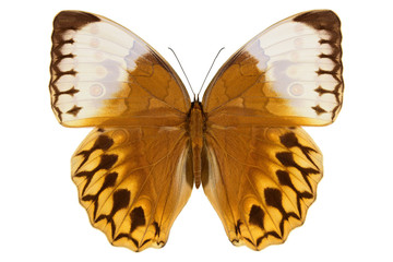 Jungle Queen, large white orange butterfly from Thailand (Stichophthalma louisa, upside) isolated on white background