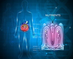 Intestinal lining anatomy and absorption of nutrients