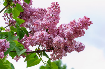 Purple branch of lilac