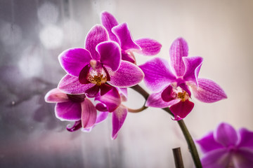 Beautiful pink orchid in window with soft smooth background