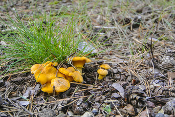 bright yellow chanterelle family on the forest trail