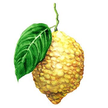 Fresh japanese citron fruits, citrus, isolated, watercolor illustration on white