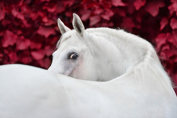 White arabian horse portrait on red foliage background