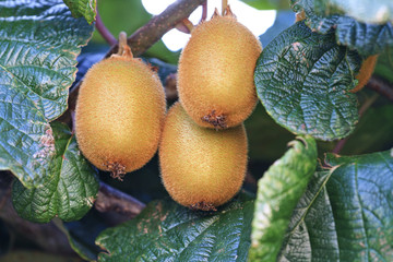 kiwi grown without the addition of pesticides and herbicides