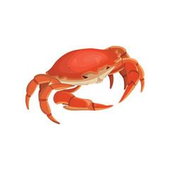 vector red crab, shellfish realistic illustration