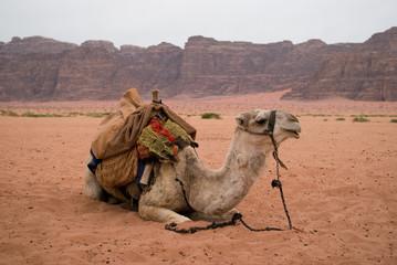 Resting camel, Wadi Rum desert, Jordan