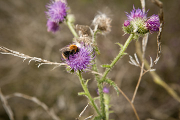 bee foraging on a milk thistle flowerhead