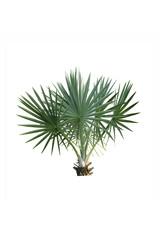 mini palm tree isolated