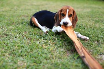 Cute Beagles playing in backyard