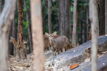 Asian Deer in the nature background.
