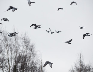 Printed roller blinds Bird pigeons in flight