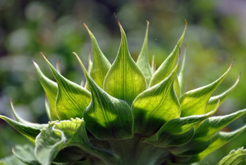 Unripe green sunflower with petals close up. Side view, vegetable background.