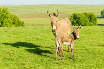 Donkey Newborn Foal Farm