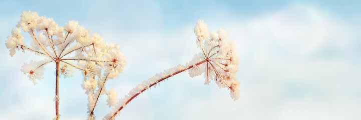Umbel of Hogweed with Hoar Frost