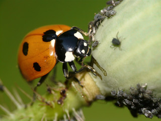 Marienkäfer jagt Blattlaus