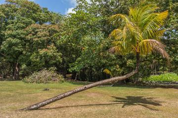 Pamplemousses botanical garden palm, Mauritius
