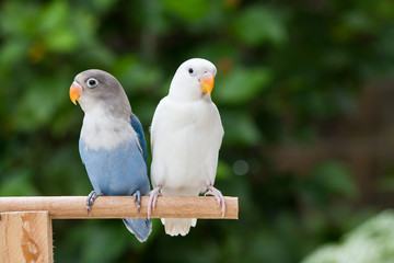 Blue and white lovebird standing on the perch on blurred garden background