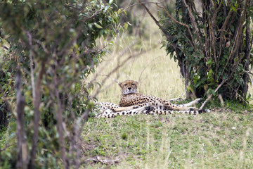 Leopard resting under the tree
