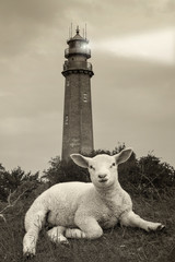 Fehmarn -Lamm vor dem Flügger Leuchtturm