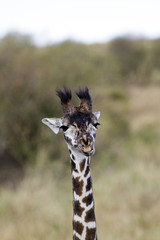 Little Giraffe Close up