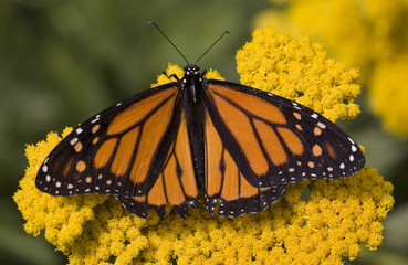Monarch Butterfly on Yellow Flower