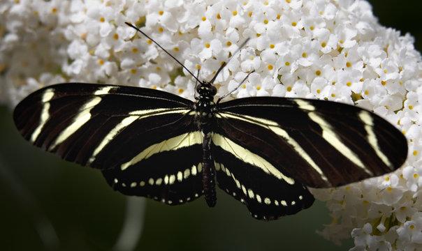 Zebra Longwing butterfly on white flower