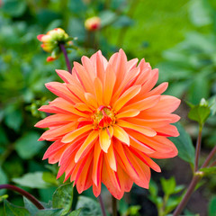 Colorful dahlia in a garden.