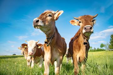 Vier Rinder mit Glocke auf einer Allgäuer-Wiese