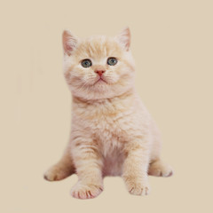 Plush kitten peach color. British kitten red. The portrait is simply a small cat. Pet posing. Isolated on the background of the kitty.