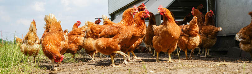 Hühnerschar neben einen mobilen Hühnerhaus