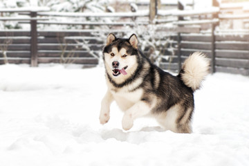 Dog breed Malamute running in the snow