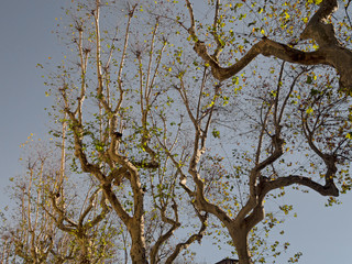 Twisted plane tree branches, winter in town.