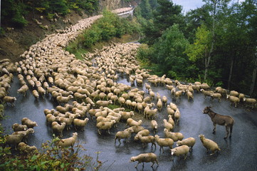Flock of sheep and a single donkey on the road during the autumn transhumance from Haute Savoy to Provence, France, Europe