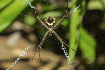 Yellow & black garden spider (Argiope Aurentia) with normal zigzag stabilimentia on web; Nosara, Guanacaste Province, Costa Rica, Central America