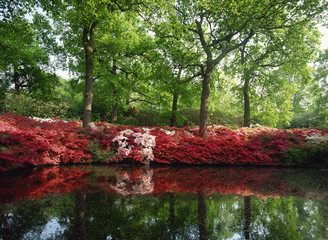 Azaleas, The Isabella Plantation, Richmond Park, London, England, United Kingdom, Europe