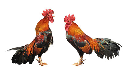 rooster crowing isolated on white background