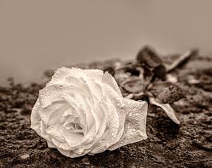 eine auf gefrohrenem Untergrund auf einem Stein niedergelegte Rose  zum Ausdruck der Trauer und des Gedenkens mit genügend Textfreiraum